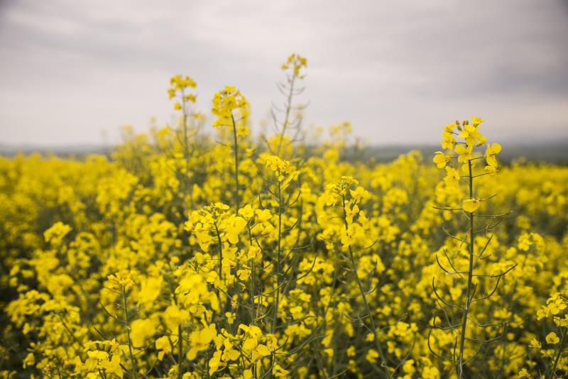 Rapeseed oil: how is it made?