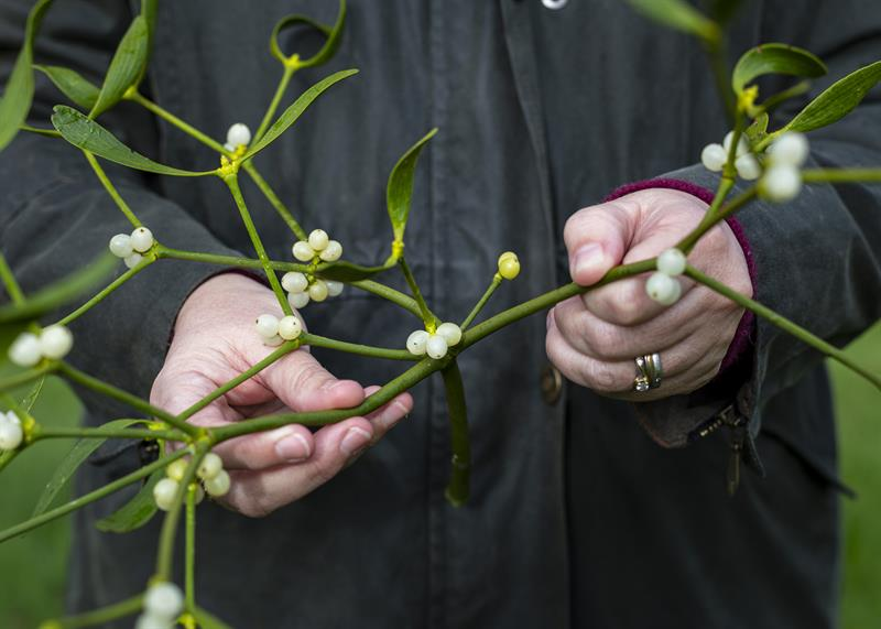 6 things you didn't know about mistletoe