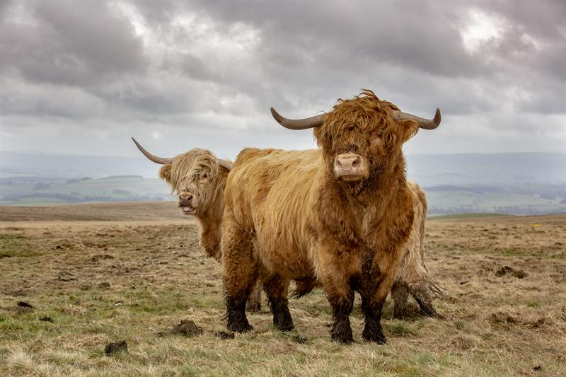 8 things you didn't know about Highland cattle