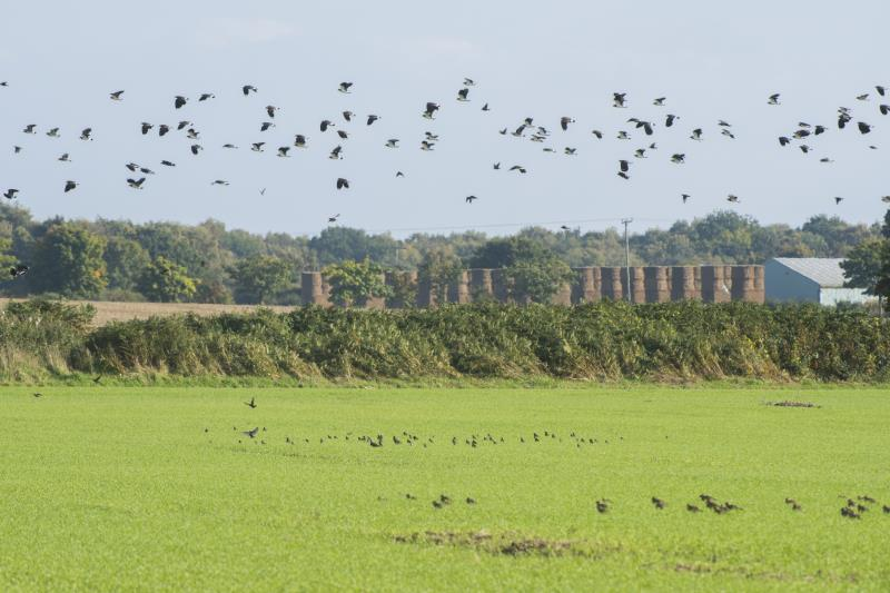 Why do British farmers use bird scarers?